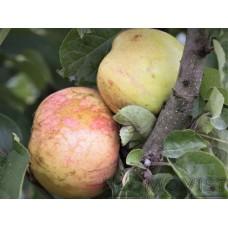 Rävelin päärynäomena