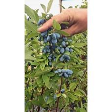 Blåbärstry, Honungsbär