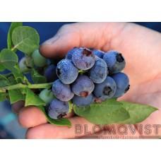 Buskblåbär, Amerikanska blåbär