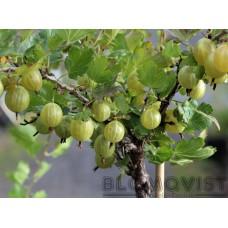 Krusbär, gul på stam