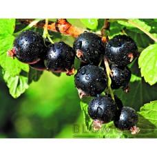 Svarta vinbär Mortti