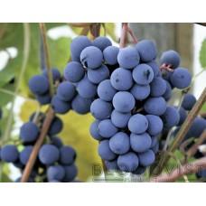 Viiniköynnös