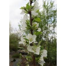 Luddkörsbär buske  I-III(IV)