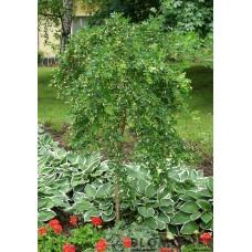 Riippahernepuu