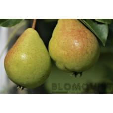 Augusti päron