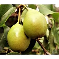 Vasa päron