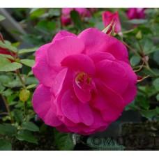 Rosa `AC William Booth´