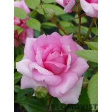 Rosa `Lambert Closse`