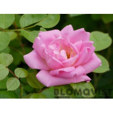 Rosa `Marie Victorin´