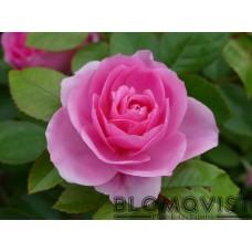 Rosa `Prairie Joy`
