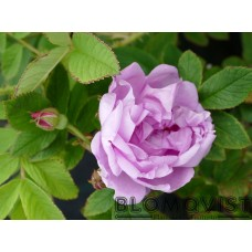 Rosa `Wasagaming`