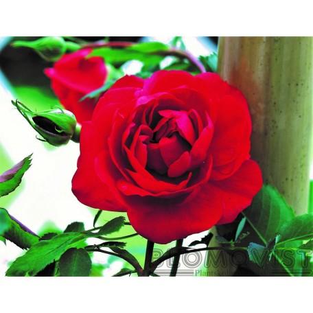 Rosa `Alexander MacKenzie´