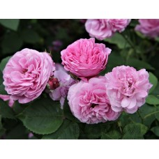 Rosa `Louise Odier´