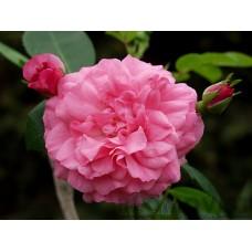Rosa `Morden Belle`