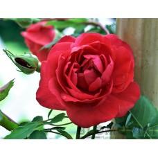 Rosa `Morden Ruby´