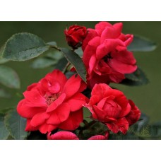 Rosa `Nicolas´