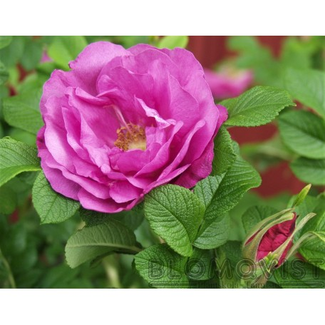 Rosa `Charles Albanel`