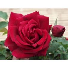 Rosa `Cuthbert Grant´