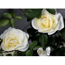 Rosa `J.P. Conell`