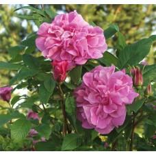 Rosa `Jens Munk`