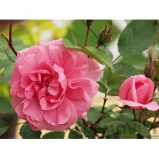 Rosa `John Davis`