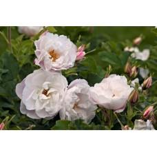 Rosa `Lac  Majeau´