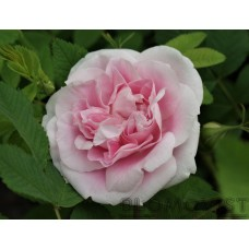 Rosa `Martin Frobisher´