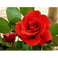 Rosa `Morden Fireglow`
