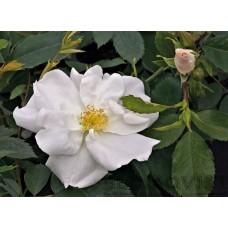 Rosa `Morden Snowbeauty`