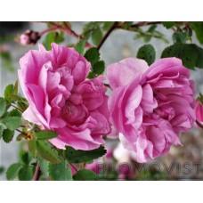 Rosa midsommarros