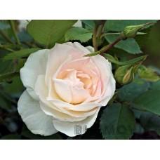 Rosa `Prairie Snowdrift´
