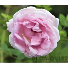 Rosa `Suzanne´