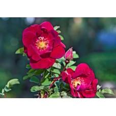 Tarhapimpinellaruusu