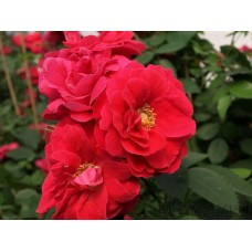 Rosa `George Vancouver´