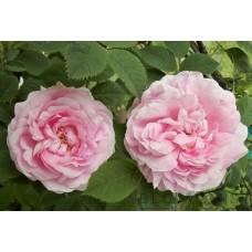 Rosa alba `Celestial´