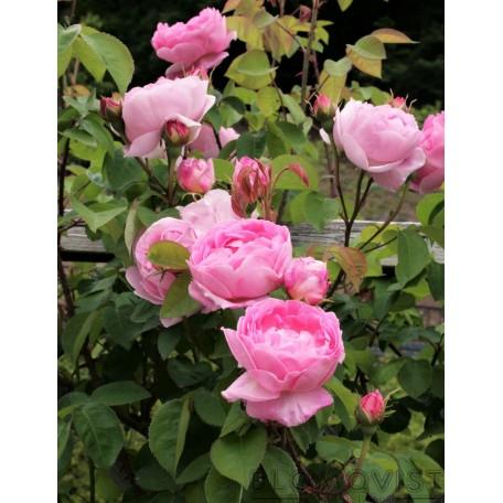 Rosa `Constanze Spry´
