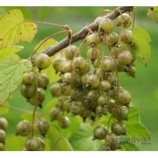 Gröna vinbär