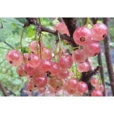 Vaaleanpunainen herukka