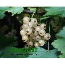 Vita vinbär på stam