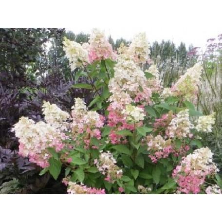 Hortensia jumbo