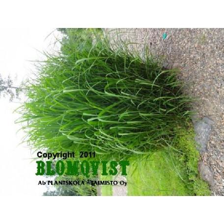 Elefantgräs (Glansmiskantus,Japanskt gräss)