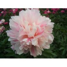 Paeonia lactiflora `Fen Pan Cang Zhu´