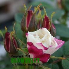 Rosa `Louise Bugnet´