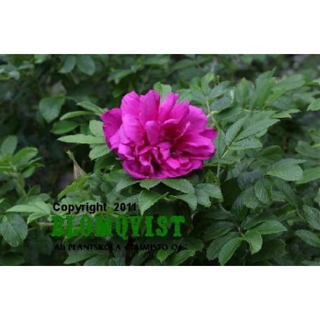 Rosa `Belle Potevin´
