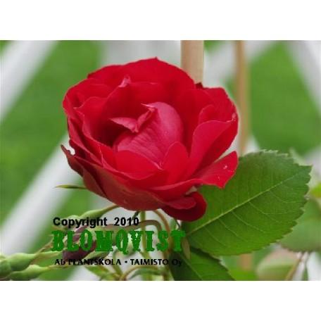 Rosa `Adelaide Hoodless´
