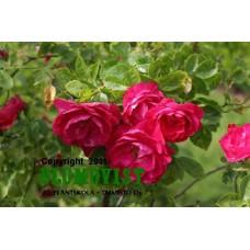 köynnösruusu (pilariruusu)
