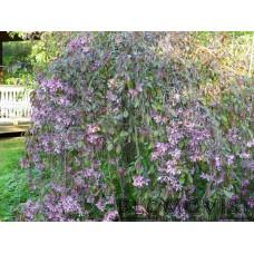 Purpurapel (hängande)