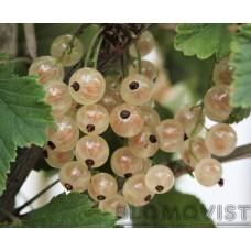 Vita vinbär Vit Holländsk