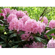 Finsk rododendron