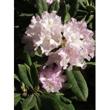 Vresrododendron